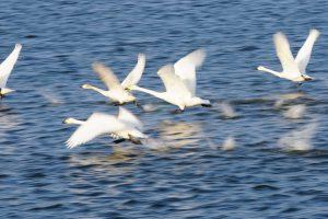 大沼の白鳥